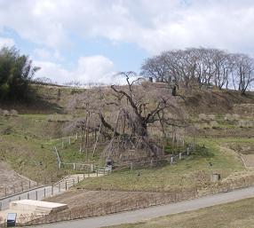 09032三春滝桜~1.JPG
