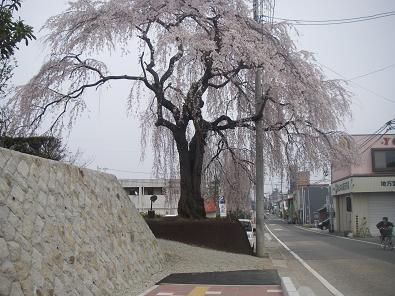 kap070413-sakura.JPG